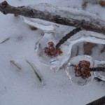 Ice Covered Buds
